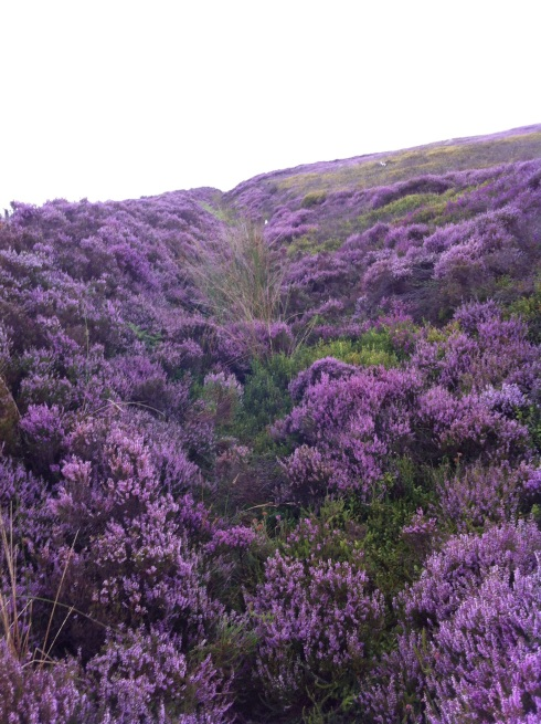 Fields of Heather